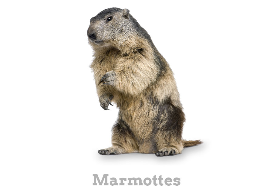 marmottesFR