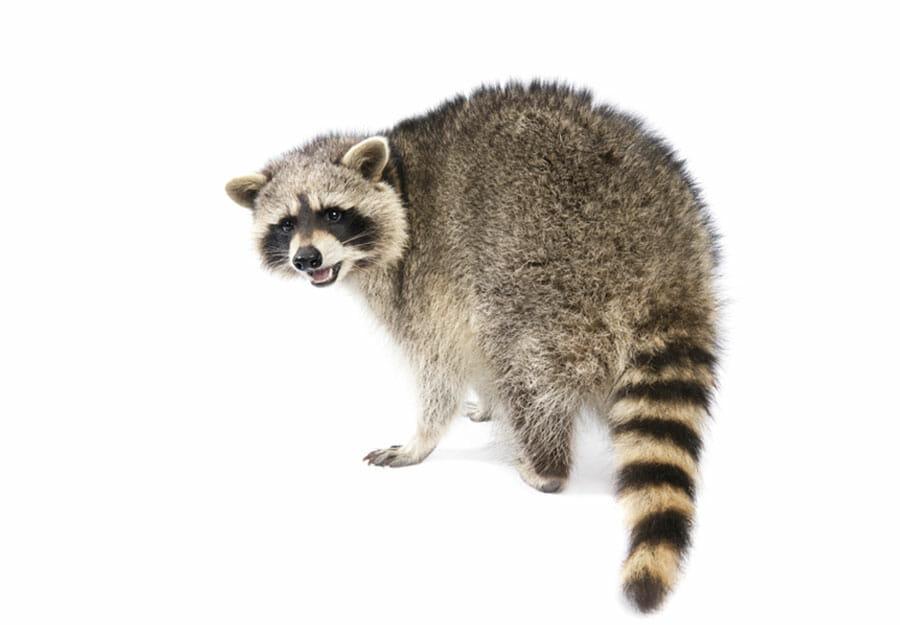 Pro Tech Extermination Raccoons